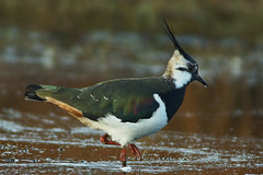 Lapwing (Jan Thomas Landgren) Tags: bird nature birds animal animals fauna göteborg sweden wildlife sony gothenburg natur aves lapwing sverige waterfowl tamron vanellusvanellus waders avifauna fåglar fågel tamron200500mm tofsvipa