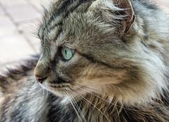 Bullebak (Lea Duckitt) Tags: pet cats pets cute animal cat fur eyes furry kitten feline soft stripes fat tabby smooth kitty fluffy kittens whiskers gato purr tabbycat animaltame