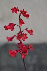 Heuchera sanguinea (esta_ahi) Tags: barcelona españa flores spain flora plantas flor heuchera macetas jardinería penedès sanguinea saxifragaceae flordecoral heucherasanguinea испания coralito cultivadas santjoandemediona campanasdecoral santjoandeconilles
