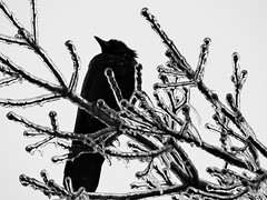 Omen (Random420) Tags: snow cold ice freeze crow winter2014
