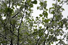 Chinese Hawthorn (ddsnet) Tags: plant flower sony taiwan cybershot   taoyuan      rx10 chinesehawthorn 851