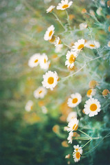 dreaming again (Rob Aparicio) Tags: flowers naturaleza blur flores flower verde green primavera film nature analog spring flickr bokeh dream olympus desenfoque margaritas carrete daydreaming analogic analgico olympusom20 tumblr robaparicio robertoaparicio robaparicioflickr flickrtotumblr
