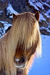 Behind the Fringe (Michael Grundler) Tags: horse hair island iceland fringe pony pferd sland haare 2014 tfttf island