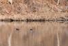 Hooded Merganser (Lophodytes cucullatus) (Anders Illum) Tags: newyork bird canon unitedstates ithaca canoneos sixmilecreek hoodedmerganser lophodytescucullatus divingduck lophodytes canonef70200mmf40lusm canon400d