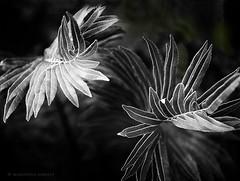 fern in black and white (marianna_m.) Tags: fern plant leaf pattern florida mariannaarmata