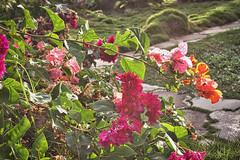 Bougainvillea at Victory Villas (ronmcmanus1) Tags: antigua 4star flowers landscape nature outdoors sunsetsunrise caribbean