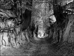 Root Tunnel (Marta Wojtkowska) Tags: bw blackandwhite monochrome mediumformat mamiya mamiya645af 645af 120 645 ilford fp4 ilfordfp4 kodakd76 d76 trees roots thebp