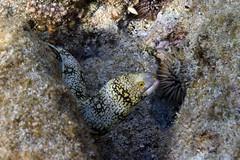 snowflake moray eel: Echidna nebulosi (kris.bruland) Tags: snowflakemorayeelechidnanebulosa muraenidae echidnanebulosi kahaluubeachpark snowflakemorayeel cloudedmoray moray eel puhikapa kailuakona kona northkona keahou westhawaii hawaiicounty bigisland coral hawaii hawaiian creature reef pacific ocean scuba sea snorkel underwater snorkeling tropical dive diver diving ecology ecosystem environment environmental fish krisbruland ichthyology ichthyologist island islands marine nature organism outdoor saltwater science undersea vertebrate water zoology life sandwich animal aquatic biology