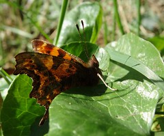 Comma (rockwolf) Tags: comma polygoniacalbum butterfly papillon lepidoptera insect uptonmagna shropshire rockwolf