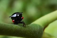 Treehopper (Membracidae), Singapore (singaporebugtracker) Tags: singaporebugtracker treehopper macro insect bukittimahnaturereserve hornedtreehopper thornbug blackinsectwithredeyes redeyedleafhopper horns imp wackyinsect beast
