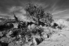 bush (Tomás Harrison Fotografía) Tags: afsdxnikkor18200mmf3556gedvrii redfilter nikon d7100 hiking coppercanyon availablelight abiquiú monochrome landscape ngc blackandwhite nm juniper usa
