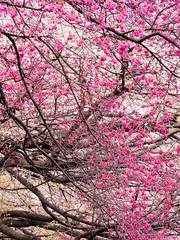 Co-starring (takanorimutoh) Tags: 桜 colorsinourworld