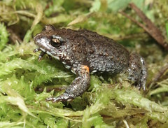 Bibron's Brood Frog (Pseudophryne bibroni) (Heleioporus) Tags: bibrons brood frog pseudophryne bibroni snowy mountains new south wales