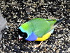 Gouldian Finch, Chloebia gouldiae (1) (Herman Giethoorn) Tags: gouldian finch songbird bird