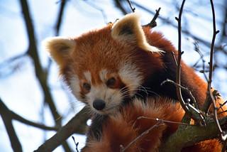 crveni panda (Ailurus fulgens / Red Panda / Katzenbär)