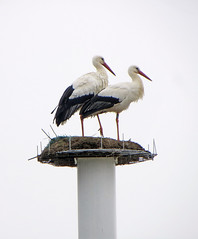 IMG_3604 FA010-FA016 new couple of storks buiding a new  nest (pinktigger) Tags: stork cigüeña storch cicogne ooievaar ciconiaciconia cicogna cegonha bird nature fagagna feagne friuli italy italia oasideiquadris animal outdoor nest