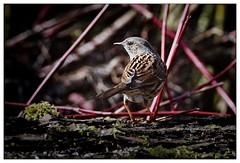 Heckenbraunelle (frodul) Tags: heckenbraunelle prunellamodularis adult frühling gebüsch vogel tier outdoor hagenburg niedersachsen deutschland