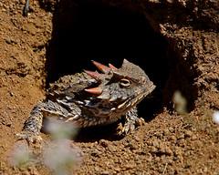 Horned Lizard aka Horny Toad 😎 (Scottygphotos / DSLR Grandmaster ️️) Tags: lizard hornytoad horned toad explore