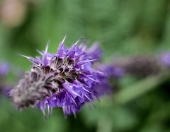 violet spikes (Patrick.Burns) Tags: