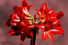 AZUCENAS. (Viktor Manuel 990.) Tags: azucena flowers flores nature naturaleza digitalart artedigital querétaro méxico victormanuelgómezg