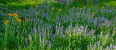Sierra Wildflowers  A2249 (bkies1) Tags: wildflowers lupine sierras sierra easternsierra aspendell easternsierras inyonationalforest inyo