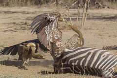The fight (Hector16) Tags: africa nomad safari outdoors tanzania ndutu drought wildlife serengeti arusharegion tz gypsrueppellii vulture ngc