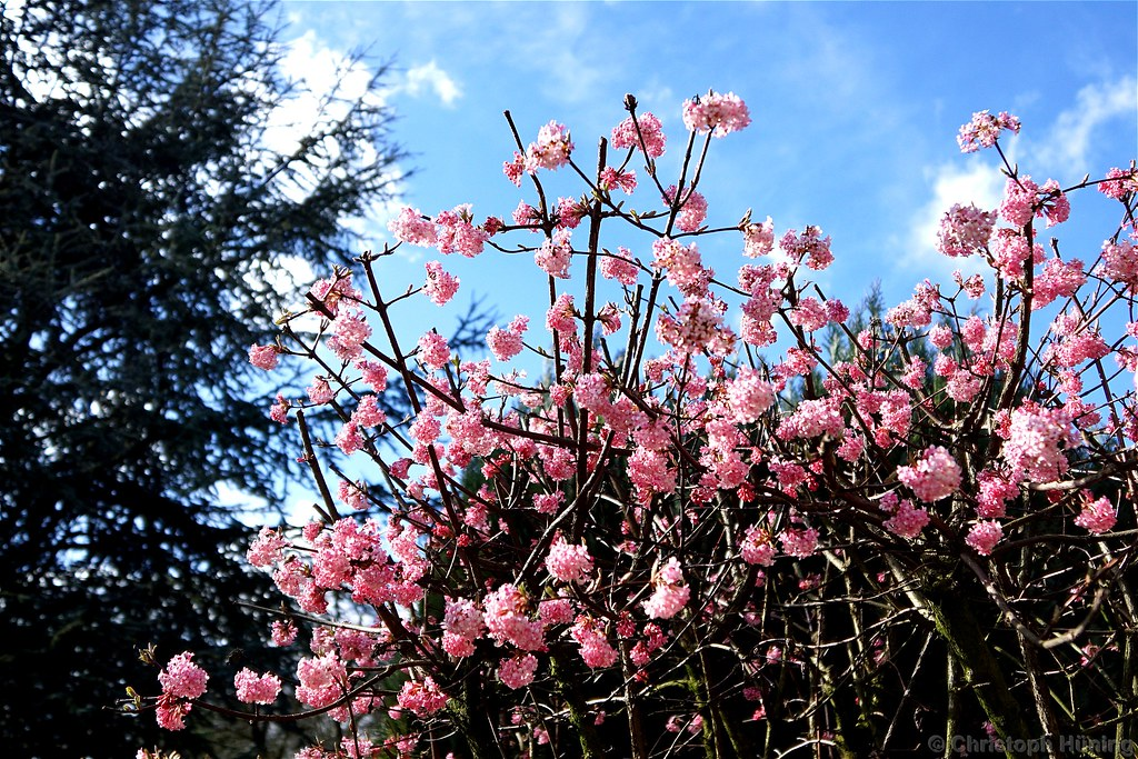 The Worlds Best Photos Of Viburnum And Winterblüher Flickr Hive Mind