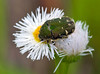 Flower Chafer, Gametis jucunda, こアオハナムグリ (aeschylus18917) Tags: danielruyle aeschylus18917 danruyle druyle ダニエルルール japan 日本 insect coleoptera beetle scarab 105mm scarabaeidae chafer ナムグリ flowerchafer cetoniinae gametisjucunda こアオハナムグリ pxt pxxt pxt2