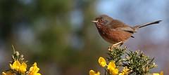 Dartford Warbler 280217 (4) (Richard Collier - Wildlife and Travel Photography) Tags: wildlife naturalhistory birds british britishbirds dartfordwarbler naturethroughthelens