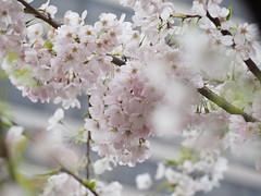 P4111307 (mina_371001) Tags: cherryblossom sakura flower japaneseflower tree vancouver burrardstation canada photographywork olympusomdem10 lifeincanada lifeinvancouver workingholiday spring