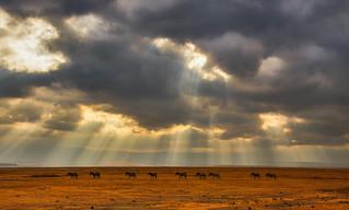 Zebra Panorama, Ngorongoro Crater, Tanzania
