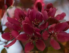 Open flower / Open Bloem (Stef32Photo) Tags: open openblossom openbloesem blossom bloesem red rood tree boom nederland netherlands noordholland northholland sigma18200mm sigma nikon d5300 daytime overdag daylight daglicht day dag