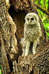 Furby Stands Tall (Jeff Clow) Tags: dallas jeffclowphototours mothernature texas usa animalbehavior animalthemes beautyinnature birding birds nature offthebeatentrack offthegrid outdoors outside spring travel wild wildlife owl barredowl