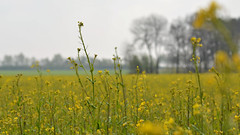 Selbst dem Raps ist es zu kalt / Even rapeseed itself it is too cold (r.stopable1) Tags: landschaft landscape eschede lowersaxony niedersachsen cellerland südheide rapeblossom rapsblüte raps rapessed depthoffield tiefenschärfe bokeh agriculture landwirtschaft field feld nature natur