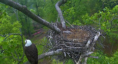 DC 4 was rescued for exam. (Lady Liberty with DC 5) (heights.18145) Tags: eagles washingtondc americaneaglefoundation ccncby