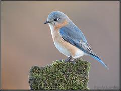 Eastern Bluebird (Randy Lowden) Tags: easternbluebird bluebird niagara randylowden canon5dmarkiv