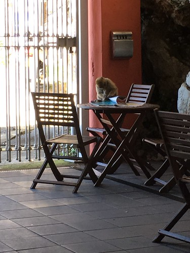 Monkey reading a magazine in a cafe on the Rock of Gibraltar.