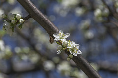 flowers (Camy487) Tags: tree flower sunday white nature spring d3100