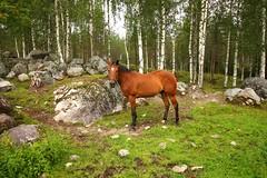 Horse (aimoräty) Tags: lieksa finland kelvä salonkylä pikkukili hevonen horse animal