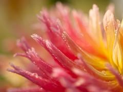 pink-poetry.. (white lemon studio ie) Tags: raindrops drops pink flower poetry aftertherainthesunwillshine macro