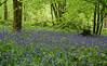 Blue Bells (Ni1050) Tags: ni1050 2017 ninicrew sony a7rii a7rm2 ilce7rm2 atlantischeshasenglöckchen bluebells blaue blumen blümchen blumenwiese flower spring frühjahr hyacinthoidesnonscripta blua blue bleu fleures fleurs flowers printemps primavera blu wald forest bois romantik kitsch bokeh schärfentiefe tiefenschärfe früh blühende zwiebelpflanze geophyt spargelgewächs asparagaceae lr lightroom