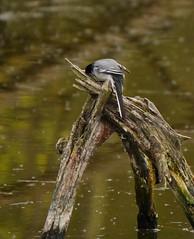 Frühjahrsmüdigkeit - tired (lomix-logo) Tags: müde schlaf bachstelze vogel singvogel see frühjahrsmüdigkeit schwarz weiss waagtail noun