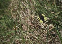 ascalaphe (bulbocode909) Tags: ascalaphes insectes nature prairies printemps vert jaune suisse valais