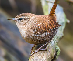 Winter Wren-2 (d.gale052) Tags: 2017 april bird outdoors small thicksonwoods whitby wild winterwren