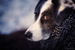 17/52 - scarf (stephubik) Tags: dog bubak portrait scarf cold 52weeksfordogs
