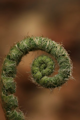 The Closed Fern (EyeoftheImage) Tags: amazing beautiful bestshotoftheday breathtaking capturing capture country discovery depthoffield dof exploring earth exquisite explore forests forest globe greatphotographers greatnature green fern landscape landscapes majestic macro newengland ngc nature picturesque