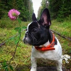 2016-09-10 12.35.05-2 (Anastasia Neto) Tags: dog dogs dogmodel dogphotography dogphotographer frenchie frenchies frenchbulldog funnydog frenchbulldogs funnydogs cutepuppies cutepuppy puppy puppies petphotography petmodel pet pets petphotographer