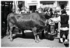Where Do U Go (Matías Brëa) Tags: animal buey ox social documentalismo blancoynegro blackandwhite byn bw bnw