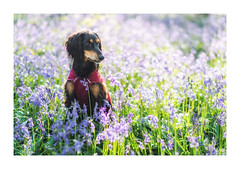 Tali amongst the Bluebells (Vemsteroo) Tags: bluebells flowers bluebell spring colourful nature bokeh fujifilm 56mm 12 fuji beautiful dog mutt spaniel saluki puppy canine outdoors exploring warwickshire haywood solihull uk westmidlands foliage bestfriend