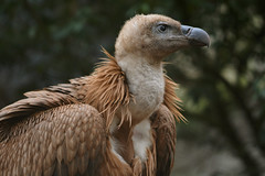 Griffon vulture (nyanc) Tags: griffonvulture griffon vulture eurasiangriffon bird birds color colorful close aves animalia d5200 vogel europe europa enormous flickr f28 giant holland jager hunter kleur lente aaseter vleeseter nikon netherlands nature nederland natuur outdoor outside portrait spring travel tree vleugels wild wings gier valegier